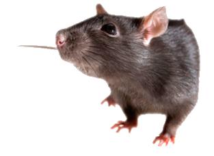 raton plagysol